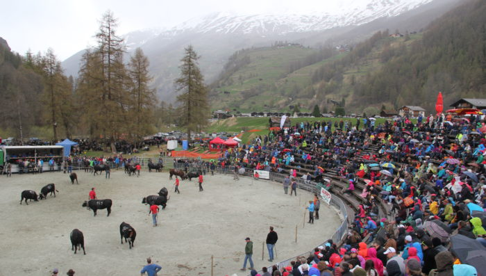 Cow fights and Cycle races – A busy weekend in the Val d'Hérens